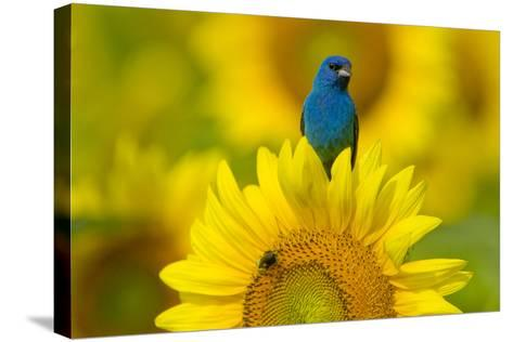 Portrait of an Indigo Bunting, Passerina Cyanea, on a Sunflower-Paul Sutherland-Stretched Canvas Print