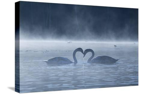 Two Mute Swans in Love, Cygnus Olor, Swim in a Pond in Richmond Park at Sunrise-Alex Saberi-Stretched Canvas Print