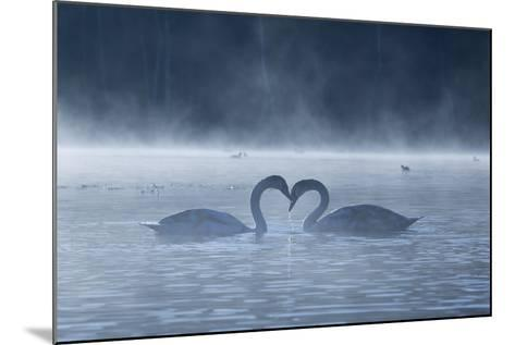 Two Mute Swans in Love, Cygnus Olor, Swim in a Pond in Richmond Park at Sunrise-Alex Saberi-Mounted Photographic Print