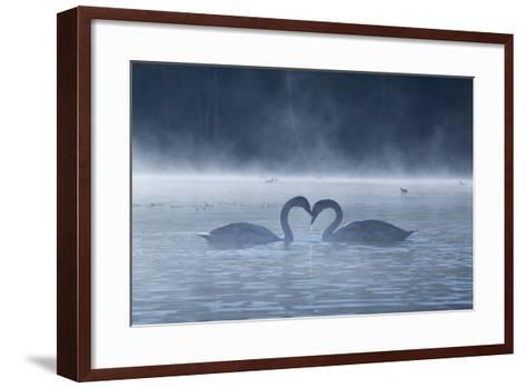 Two Mute Swans in Love, Cygnus Olor, Swim in a Pond in Richmond Park at Sunrise-Alex Saberi-Framed Art Print