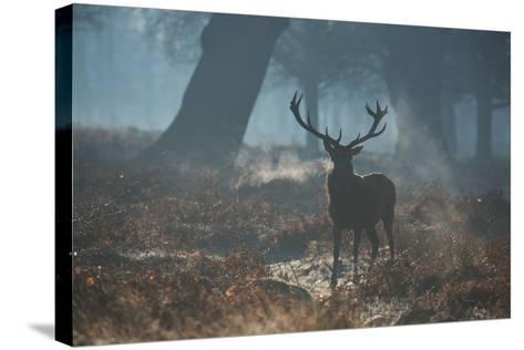 A Red Deer Stag Stands His Ground in a Misty Richmond Park-Alex Saberi-Stretched Canvas Print