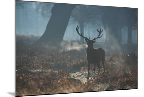 A Red Deer Stag Stands His Ground in a Misty Richmond Park-Alex Saberi-Mounted Photographic Print