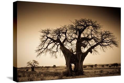 An Elephant-Made Hole in a Large Baobab Tree, Ruaha National Park, Tanzania-Robin Moore-Stretched Canvas Print