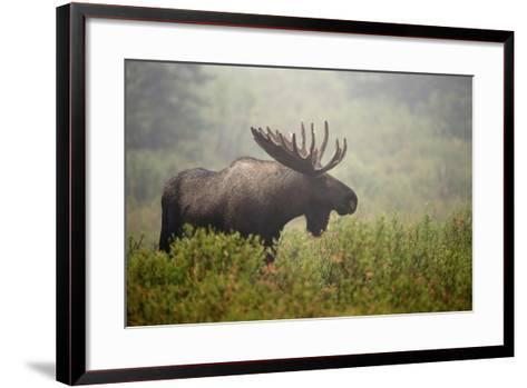 Portrait of a Male Moose, Alces Alces, in a Foggy Landscape-Bob Smith-Framed Art Print