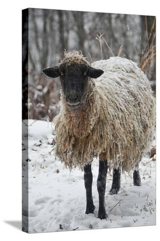 A Mixed Breed Sheep Ewe Standing in Snow-Amy White and Al Petteway-Stretched Canvas Print