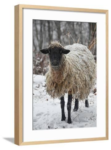 A Mixed Breed Sheep Ewe Standing in Snow-Amy White and Al Petteway-Framed Art Print