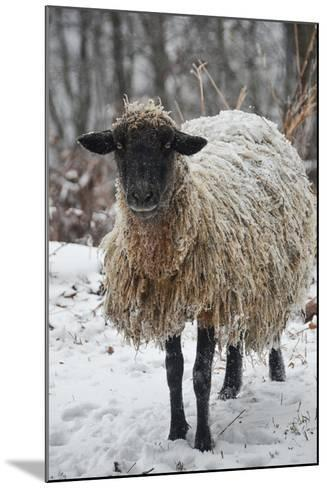 A Mixed Breed Sheep Ewe Standing in Snow-Amy White and Al Petteway-Mounted Photographic Print