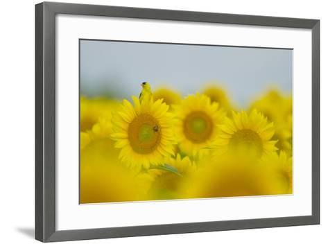 An American Goldfinch, Carduelis Tristis, on a Sunflower in a Field of Sunflowers-Paul Sutherland-Framed Art Print