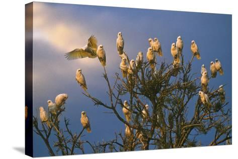 A Flock of Western Corellas Perching in a Tree in Australia's Outback in South Australia-Medford Taylor-Stretched Canvas Print