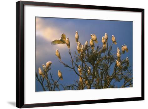 A Flock of Western Corellas Perching in a Tree in Australia's Outback in South Australia-Medford Taylor-Framed Art Print