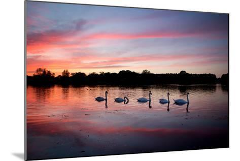 Mute Swans, Cygnus Olor, Swim on Pen Ponds at Sunset in Richmond Park-Alex Saberi-Mounted Photographic Print