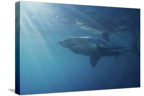 Portrait of a Male Great White Shark, Carcharodon Carcharias, Swimming in Rays of Sunlight-Jeff Wildermuth-Stretched Canvas Print