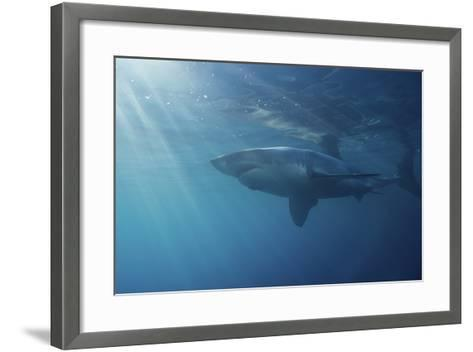 Portrait of a Male Great White Shark, Carcharodon Carcharias, Swimming in Rays of Sunlight-Jeff Wildermuth-Framed Art Print