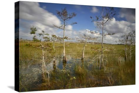 Cypress Trees in Everglades National Park Near Florida City-Raul Touzon-Stretched Canvas Print