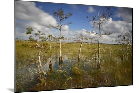 Cypress Trees in Everglades National Park Near Florida City-Raul Touzon-Mounted Photographic Print