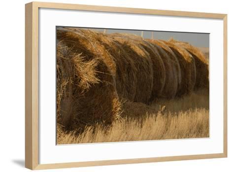 A White-Tailed Jack Rabbit, Lepus Townsendi, Camouflaged in the Grasses Near Hay Bales-Michael Forsberg-Framed Art Print