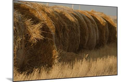 A White-Tailed Jack Rabbit, Lepus Townsendi, Camouflaged in the Grasses Near Hay Bales-Michael Forsberg-Mounted Photographic Print