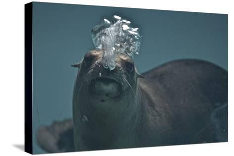 A California Sealion, Zalophus Californianus, Blows Bubbles as it Swims in an Aquarium Tank-Kike Calvo-Stretched Canvas Print