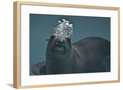 A California Sealion, Zalophus Californianus, Blows Bubbles as it Swims in an Aquarium Tank-Kike Calvo-Framed Art Print