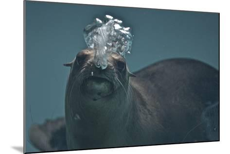 A California Sealion, Zalophus Californianus, Blows Bubbles as it Swims in an Aquarium Tank-Kike Calvo-Mounted Photographic Print