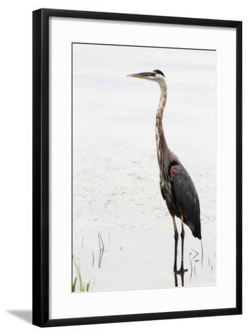 Portrait of a Great Blue Heron, Ardea Herodias, Wading in the Water-Robbie George-Framed Art Print