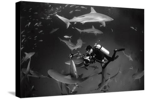 Caribbean Reef Sharks Swimming in a Frenzy around an Underwater Photographer-Jennifer Hayes-Stretched Canvas Print
