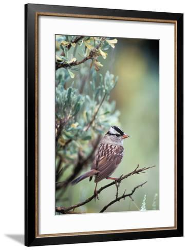 A White Crowned Sparrow, Zonotrichia Leucophrys, Perched on a Tree-Tom Murphy-Framed Art Print