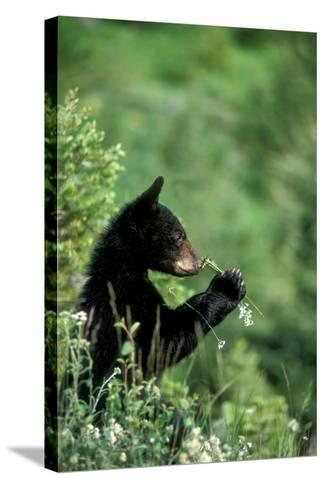 The American Black Bear Cub, Ursus Americanus, Sniffing Wildflowers-Tom Murphy-Stretched Canvas Print