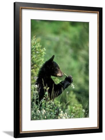 The American Black Bear Cub, Ursus Americanus, Sniffing Wildflowers-Tom Murphy-Framed Art Print