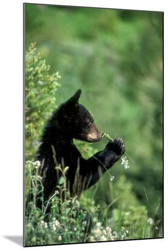 The American Black Bear Cub, Ursus Americanus, Sniffing Wildflowers-Tom Murphy-Mounted Photographic Print