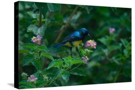 A Beautiful Iridescent Blue Bird on a Branch of Flowers-Bob Smith-Stretched Canvas Print