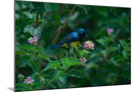 A Beautiful Iridescent Blue Bird on a Branch of Flowers-Bob Smith-Mounted Photographic Print