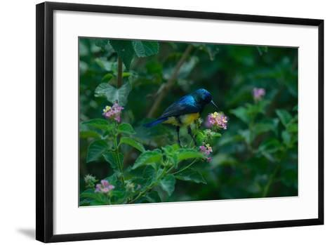 A Beautiful Iridescent Blue Bird on a Branch of Flowers-Bob Smith-Framed Art Print