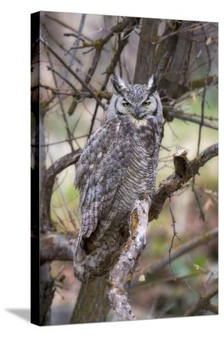 Portrait of a Great Horned Owl, Bubo Virginianus, Perched on a Tree Branch-Robbie George-Stretched Canvas Print