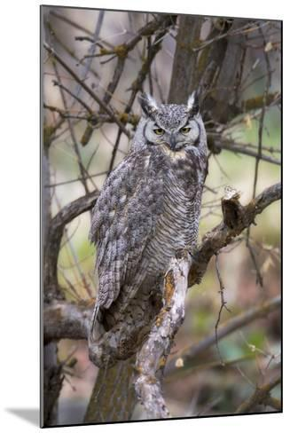 Portrait of a Great Horned Owl, Bubo Virginianus, Perched on a Tree Branch-Robbie George-Mounted Photographic Print