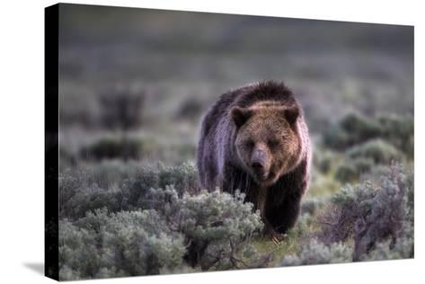 Portrait of a Grizzly Bear, Ursus Arctos, Walking Through Brush-Robbie George-Stretched Canvas Print