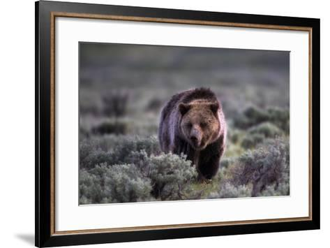 Portrait of a Grizzly Bear, Ursus Arctos, Walking Through Brush-Robbie George-Framed Art Print