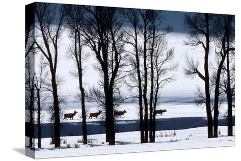 Elk Through Deep Snow in Single File Past Bare Cottonwood Trees Along the Lamar River-Tom Murphy-Stretched Canvas Print