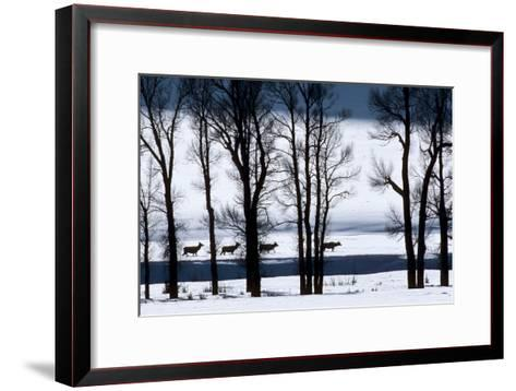 Elk Through Deep Snow in Single File Past Bare Cottonwood Trees Along the Lamar River-Tom Murphy-Framed Art Print