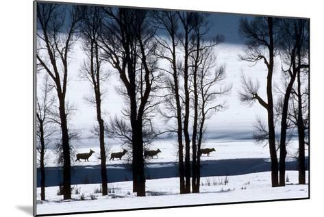 Elk Through Deep Snow in Single File Past Bare Cottonwood Trees Along the Lamar River-Tom Murphy-Mounted Photographic Print