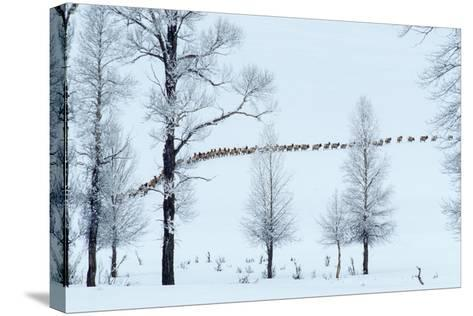 Elk Move across Open Land Along the Lamar River in Single File-Tom Murphy-Stretched Canvas Print