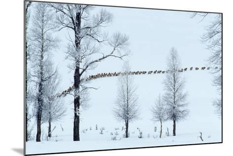 Elk Move across Open Land Along the Lamar River in Single File-Tom Murphy-Mounted Photographic Print