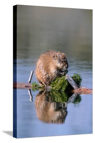 A Muskrat Devours Greens it Hauled Up from the Bottom of the Pond-Tom Murphy-Stretched Canvas Print