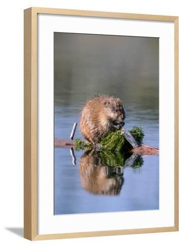 A Muskrat Devours Greens it Hauled Up from the Bottom of the Pond-Tom Murphy-Framed Art Print