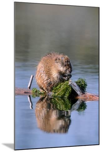 A Muskrat Devours Greens it Hauled Up from the Bottom of the Pond-Tom Murphy-Mounted Photographic Print