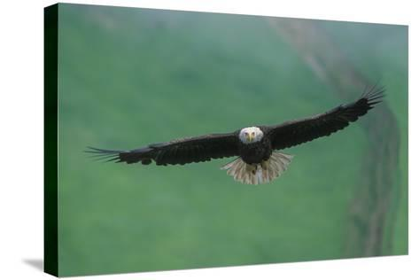 A Bald Eagle in Flight-Tom Murphy-Stretched Canvas Print
