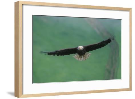 A Bald Eagle in Flight-Tom Murphy-Framed Art Print