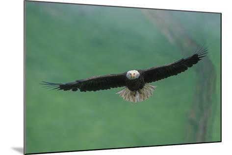 A Bald Eagle in Flight-Tom Murphy-Mounted Photographic Print
