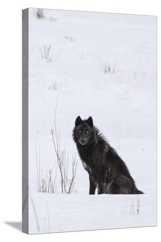 A Wolf Waiting in Snow-Tom Murphy-Stretched Canvas Print