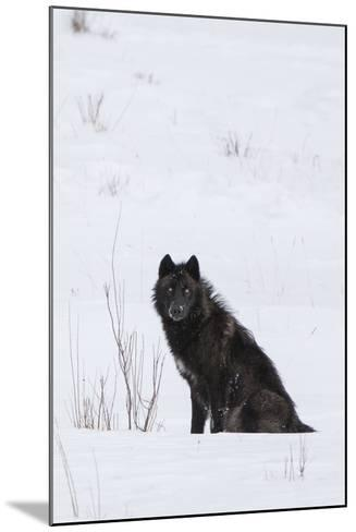 A Wolf Waiting in Snow-Tom Murphy-Mounted Photographic Print